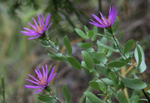 western silvery aster image